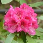 シャクナゲ(石楠花)の上手な育て方・殖やし方
